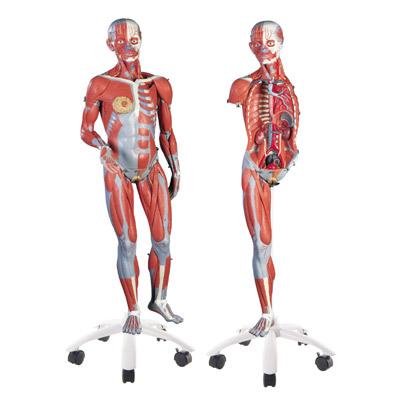 Muskelfigur, weiblich, 23-teilig - 3B Scientific - 1013882 ...