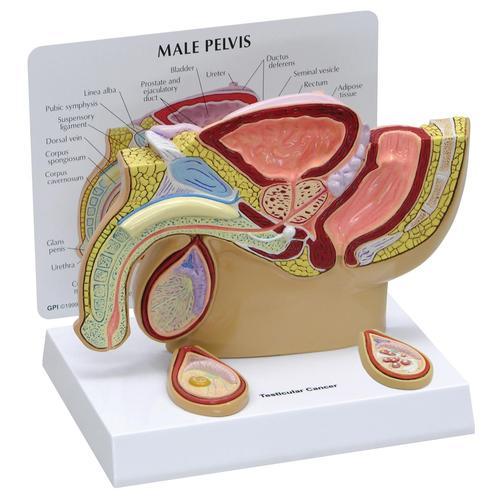 GPI Modell eines männlichen Beckens mit Hoden 3570, Modell eines ...