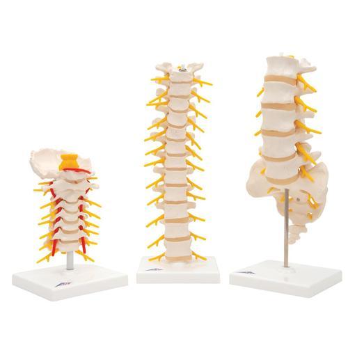 Anatomie Set Wirbel - 8000836 - Anatomie Sets - 3B Scientific