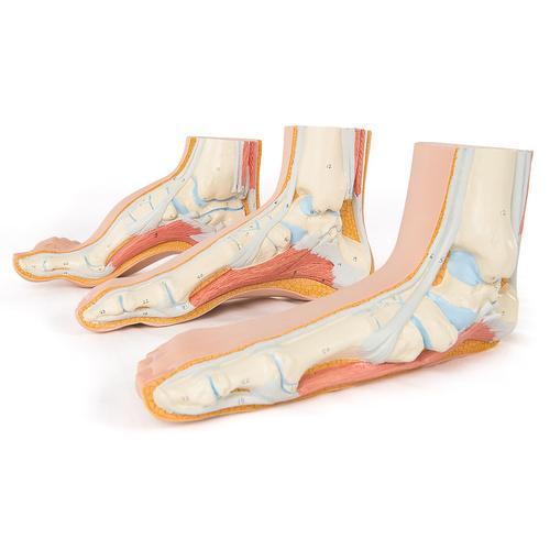Anatomie Set Fuß Modelle - 8000840 - Anatomie Sets - 3B Scientific