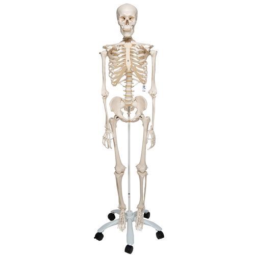 Menschliches Skelett Modell Stan (A10) - Lebensgroß & Unzerbrechlich ...