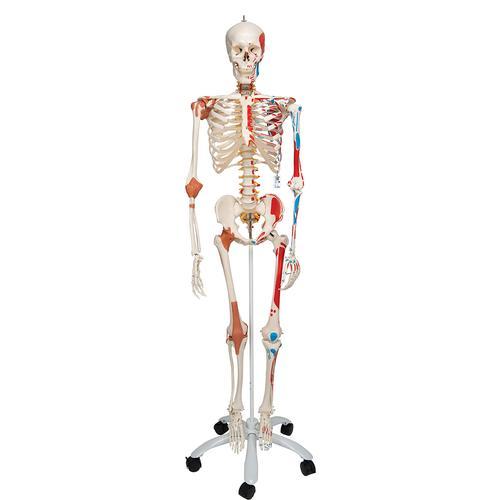 Skelett Sam A13 - Luxusversion auf Metallstativ mit 5 Rollen ... b5aa34acda946