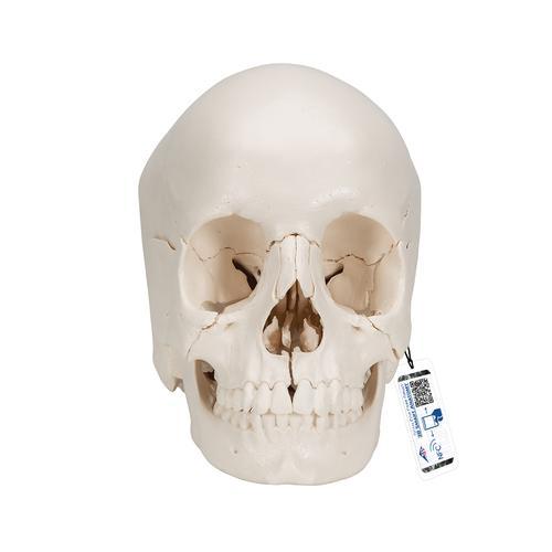 3B Scientific® Steckschädel – Anatomische Version, 22-teilig ...