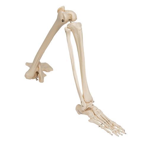 Menschliches Skelett Fuß und Knöchelgelenk Modell Schlüssel Chian