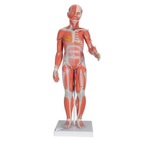 Muskelfigur, weiblich, 21-teilig - 1000211 - 3B Scientific - B56 ...