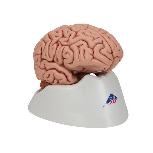 Klassik-Gehirn, 5-teilig - 1000226 - 3B Scientific - C18 - Gehirn ...