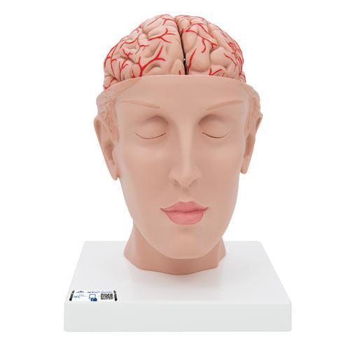 Gehirn mit Arterien auf Kopfbasis, 8-teilig - 1017869 - 3B ...