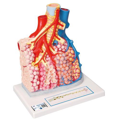 Lungenläppchen mit umgebenden Blutgefäßen - 1008493 - G60 ...