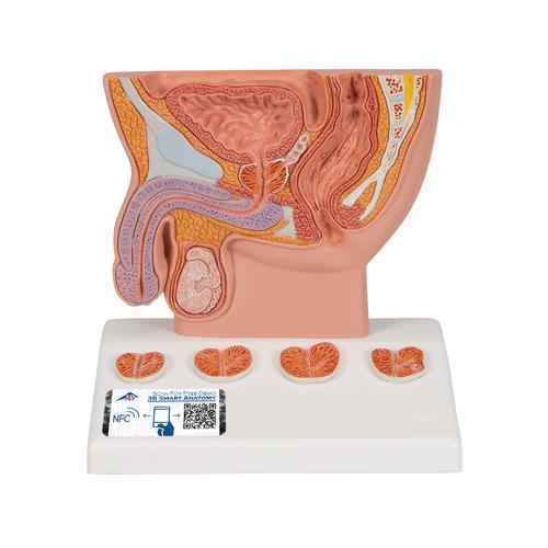 Prostata-Modell, 1/2 Größe - 1000319 - K41 - Harnapparatmodelle - 3B ...