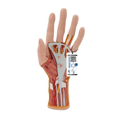 Hand-Struktur-Modell, 3-teilig - 1000349 - M18 - Hand- und ...
