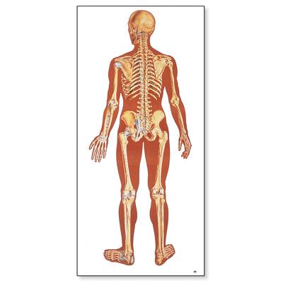 Lehrtafel - Das menschliche Skelett, Rückseite - 1000012 - V2002M ...