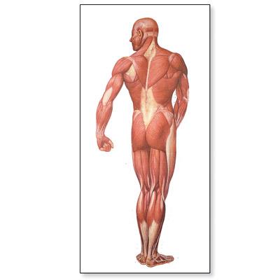Lehrtafel - Die Muskulatur des Menschen, Rückseite - 1001153 ...