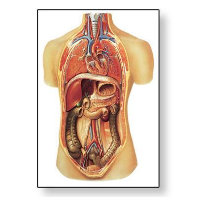Lehrtafel - Innere Organe - 4006517 - V2006U - Atmungssystem - 3B ...
