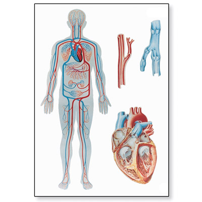 File Vein further Anatomy3 together with Circulatory System as well 10 Physiological properties of heart additionally Heart Valve Repair Or Replacement. on blood circulatory system diagram