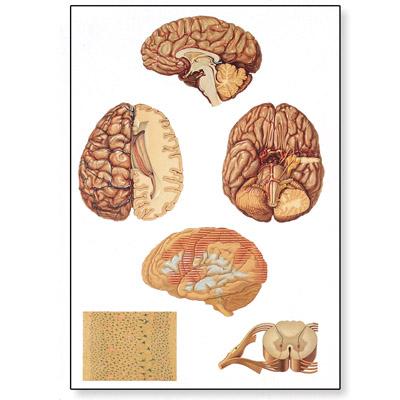 3B Scientific V2059U Lehrtafel Das vegetative Nervensystem