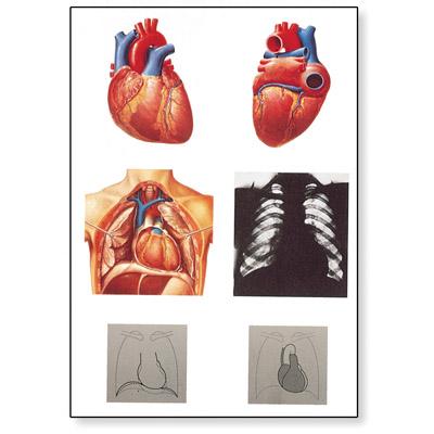 Lehrtafel - Das Herz I, Anatomie - 4006552 - V2053U - Herz-Kreislauf ...