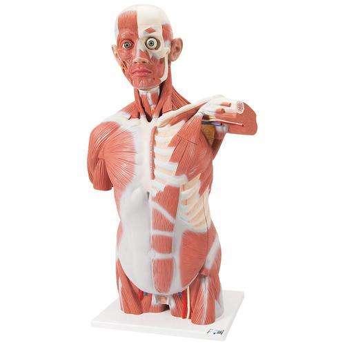 Lebensgroßer Muskel-Torso, 27-teilig - 1001236 - 3B Scientific ...