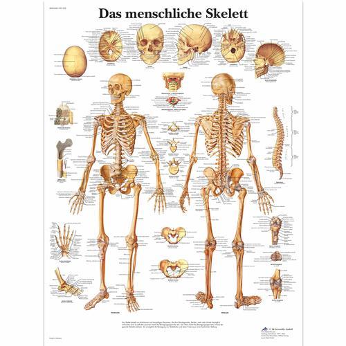 Lehrtafel - Das menschliche Skelett - 4006568 - VR0113UU ...