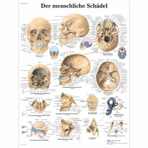 Lehrtafel - Der menschliche Schädel - 4006573 - VR0131UU ...