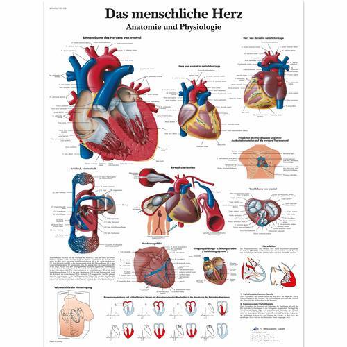 Lehrtafel - Das menschliche Herz - Anatomie und Physiologie ...
