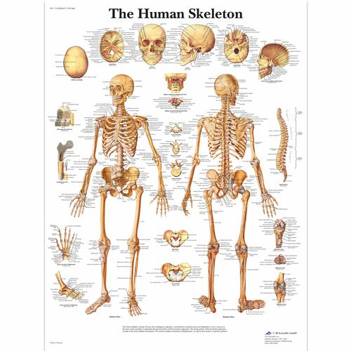 Lehrtafel - The Human Skeleton, 4006651 [VR1113UU], Skelettsystem