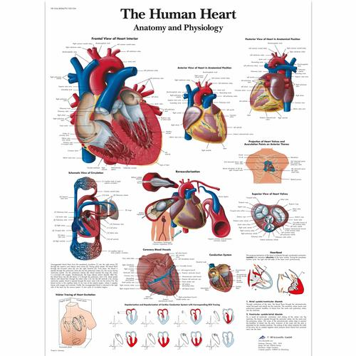 Lehrtafel - The Human Heart - Anatomy and Physiology - 4006679 ...