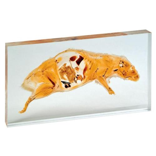 Ratte (Rattus norvegicus), Scheibenplastinat - 1005385 - W29004 ...