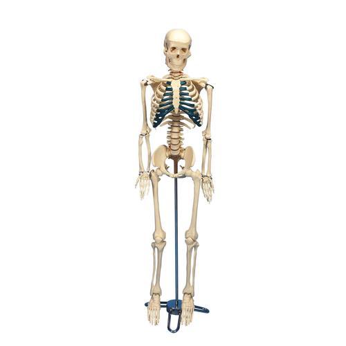 Schreibtisch-Skelett - 1005457 - W33000 - Mini-Skelett Modelle - 3B ...