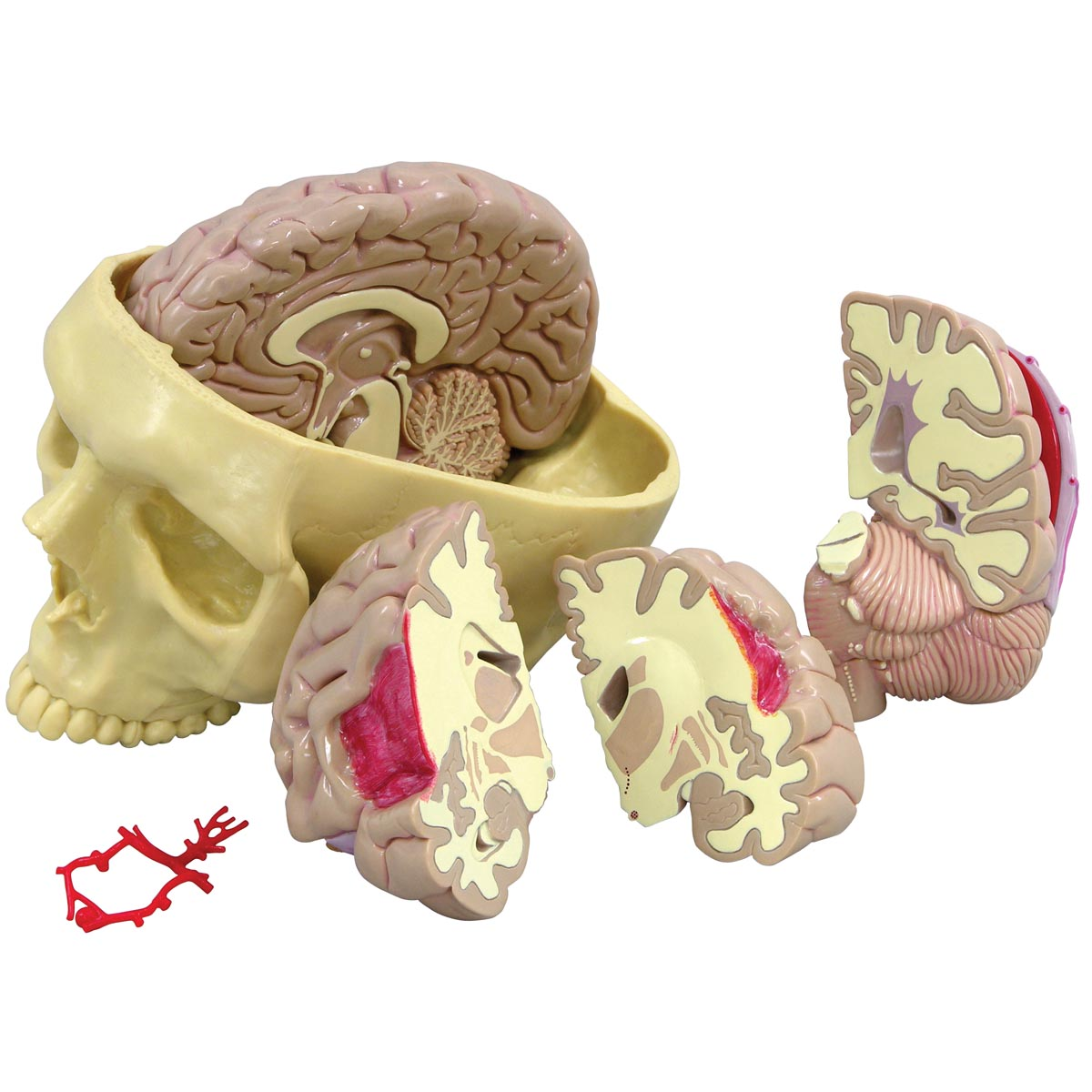 GPI Gehirnmodell 2900, Modell eines menschlichen Gehirns, Gehirnmodell