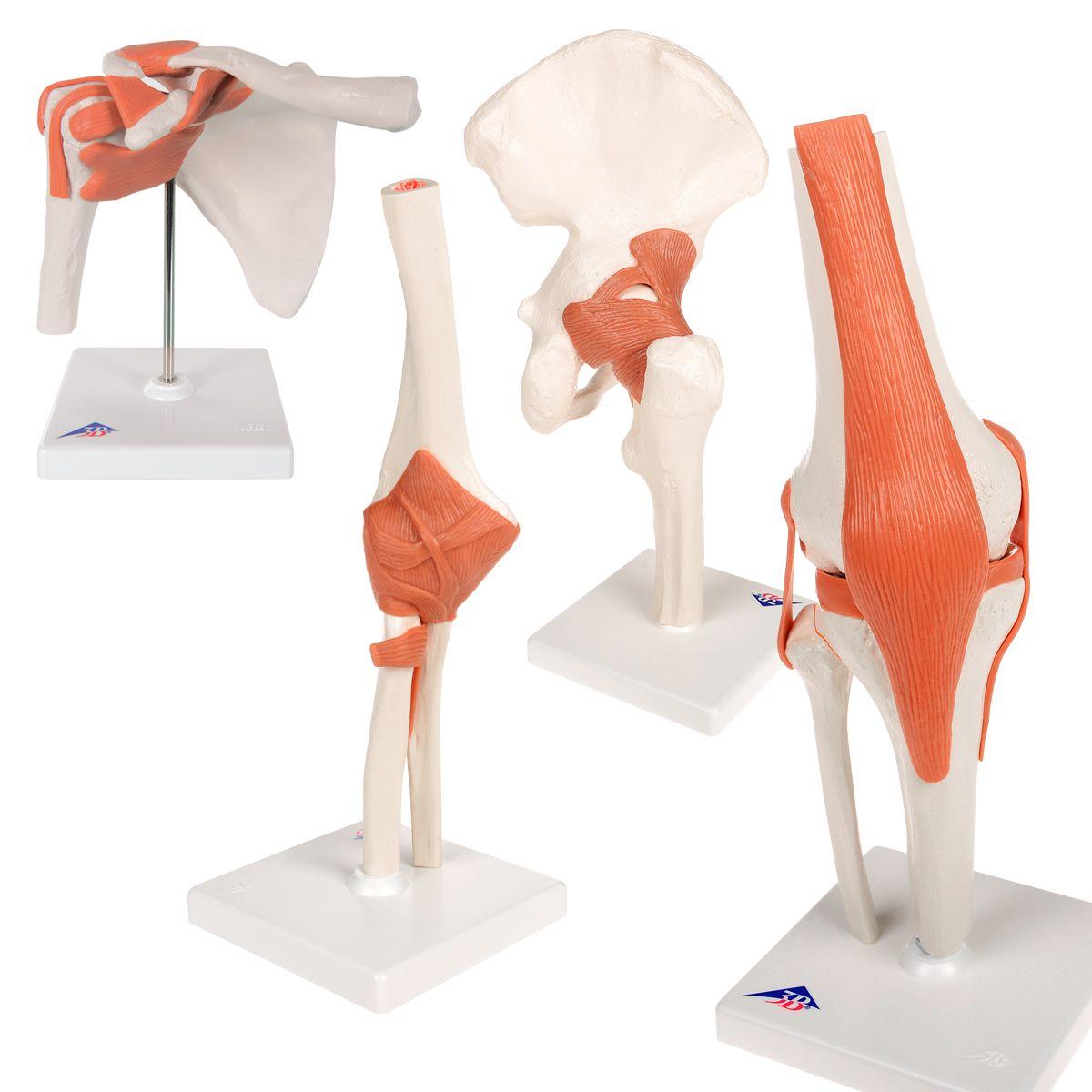 Anatomie Set Gelenke - 8000832 - Anatomie Sets - 3B Scientific