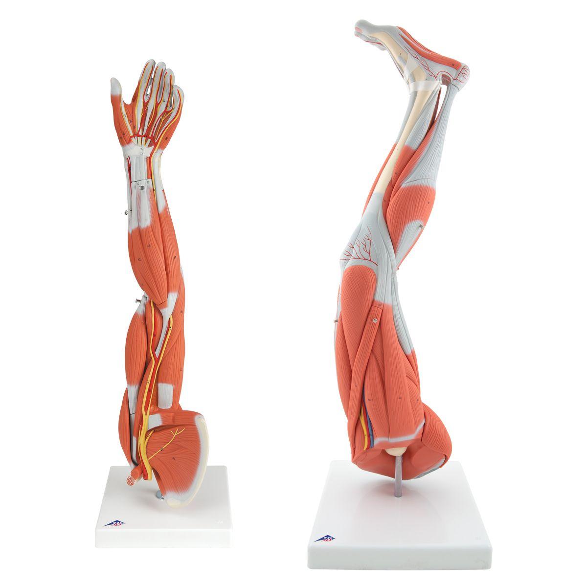 Ungewöhnlich Muskelmodell Anatomie Bilder - Physiologie Von ...