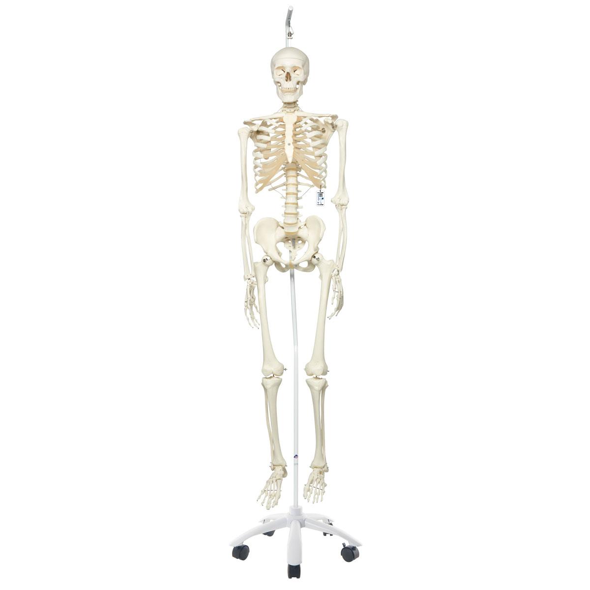 Skelett Stan A10/1 an Metallhängestativ mit 5 Rollen - 1020172 - 3B ...
