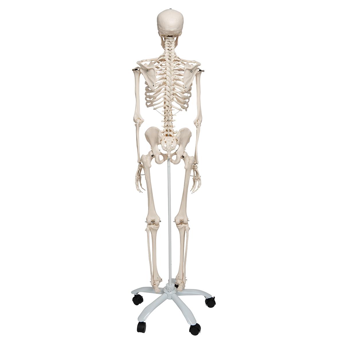 Skelett Stan A10 auf Metallstativ mit 5 Rollen - 1020171 - 3B ...