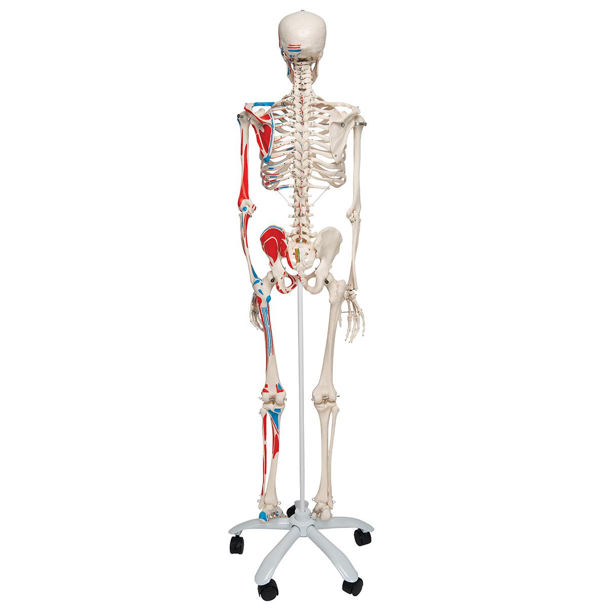 Skelett Max A11 mit Muskeldarstellung, auf Metallstativ mit 5 Rollen ...