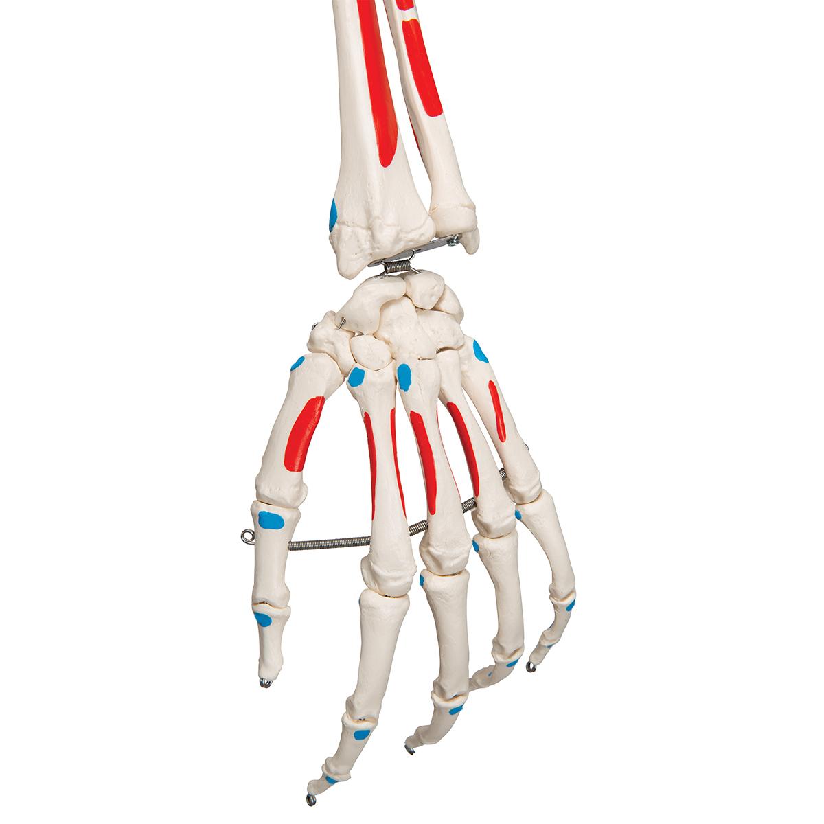 Niedlich Das Muskel Skelett System Zeitgenössisch - Menschliche ...