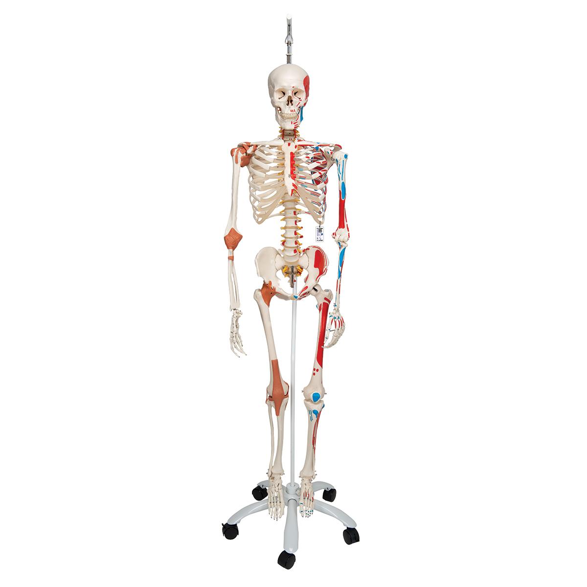 Skelett Sam A13/1 - Luxusversion an Metallhängestativ mit 5 Rollen ...