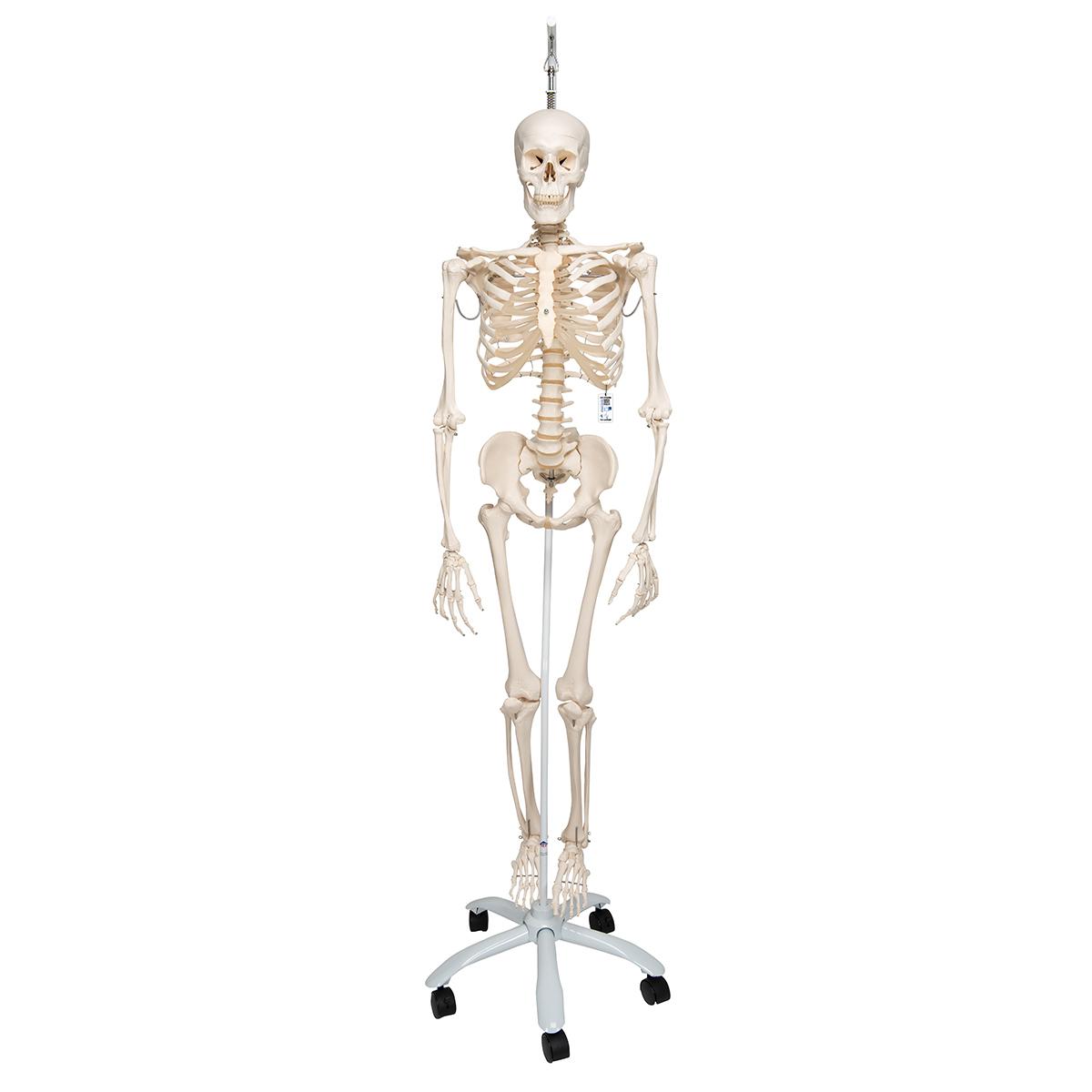 Skelett Phil A15/3, das physiologische Skelett an Metallhängestativ ...