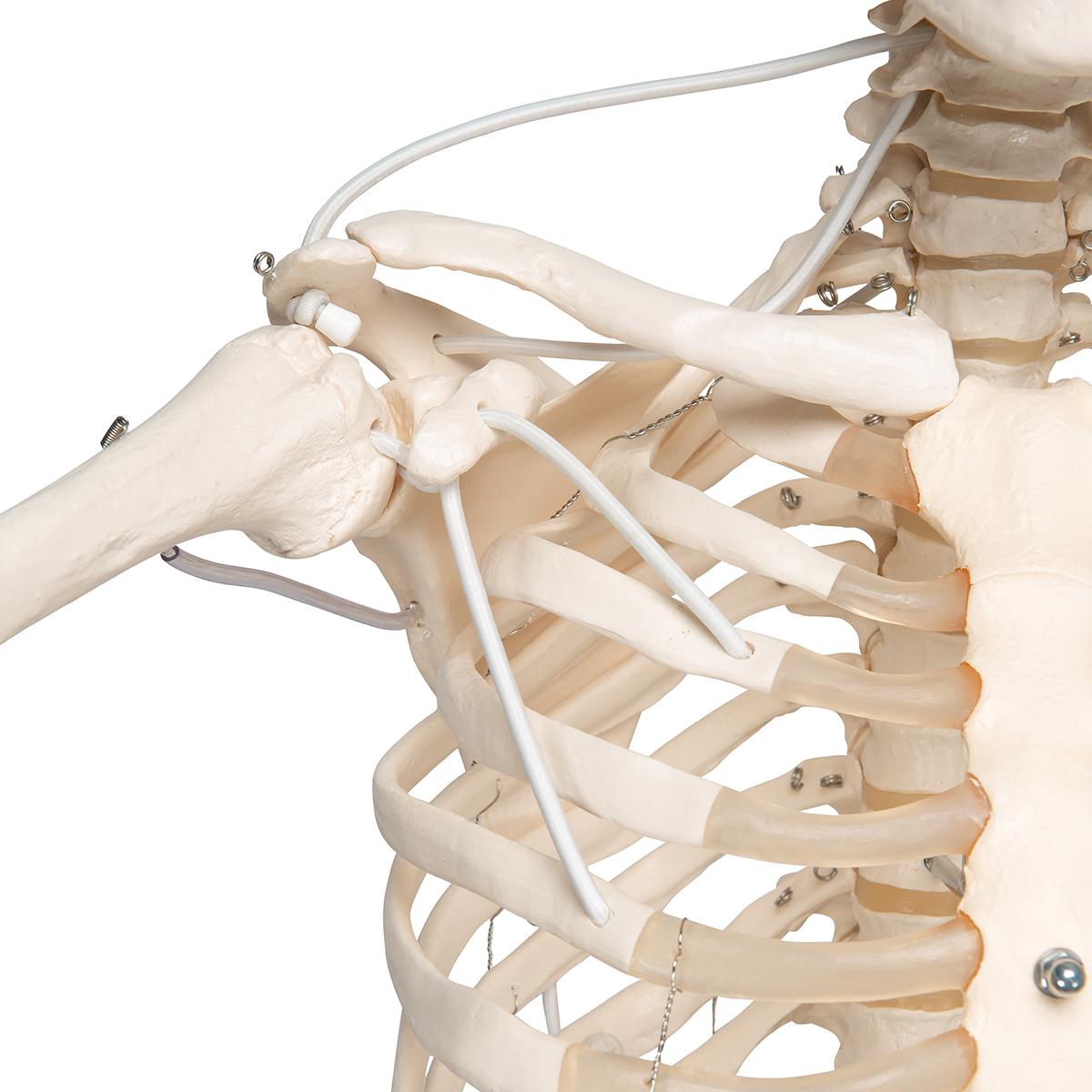 Skelett Feldi A15/3S, das funktionelle Skelett an Metallhängestativ ...
