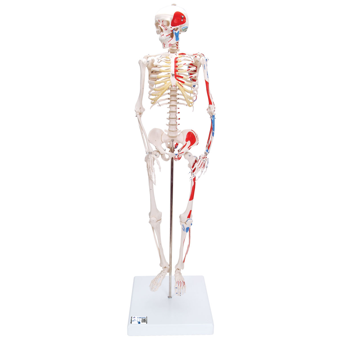 "Mini-Skelett ""Shorty"" mit Muskelbemalung, auf Sockel - 1000044 - A18 ..."