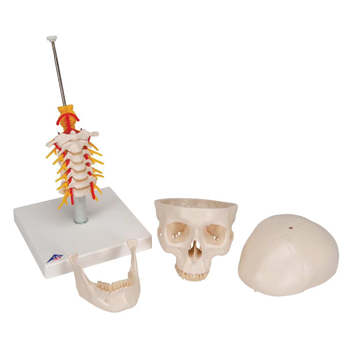 Klassik-Schädel auf Halswirbelsäule, 4-teilig - 1020160 - A20/1 ...