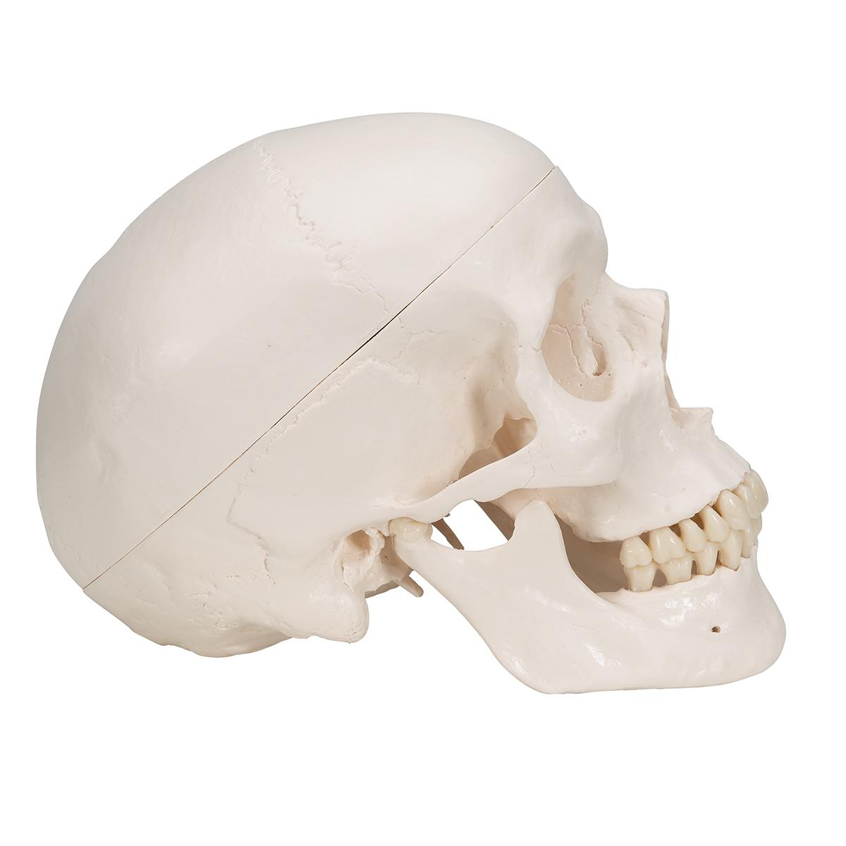 Klassik-Schädel mit Gehirn, 8-teilig - 1020162 - A20/9 ...