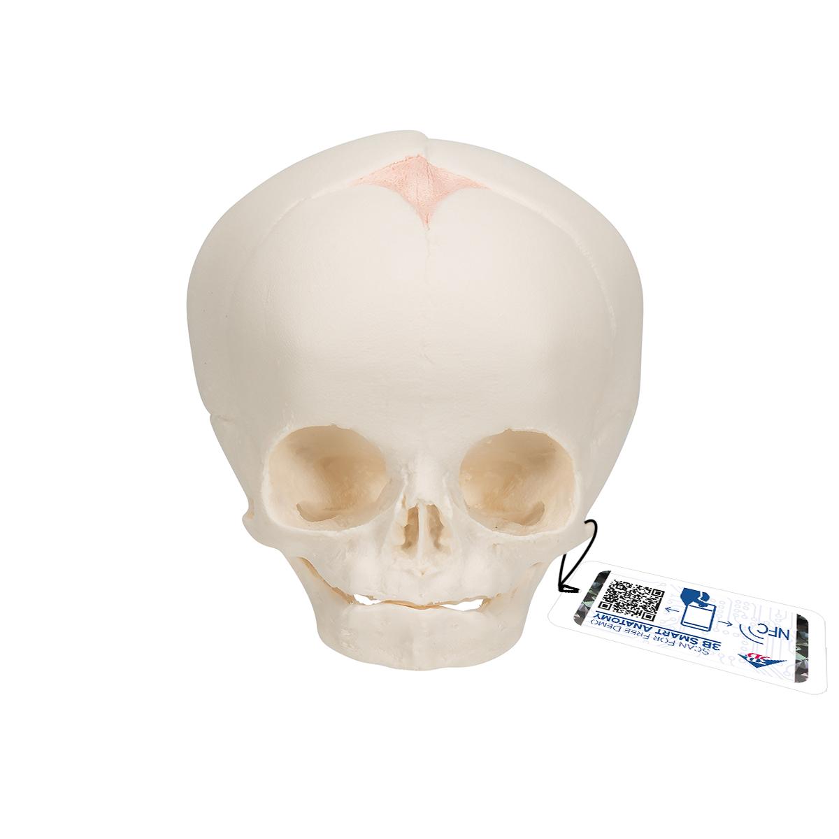 Fetus-Schädel - 1000057 - A25 - Schädelmodelle - 3B Scientific