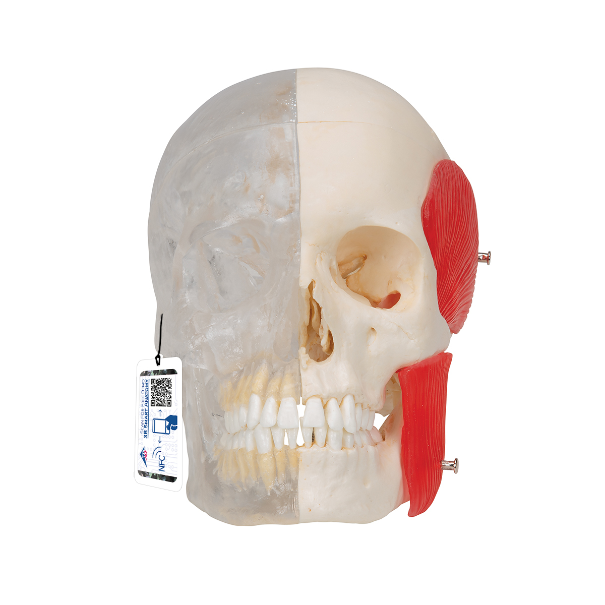 BONElike™ Schädel - Kombischädel Transparent/Knochen, 8-teilig ...