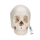 3B Scientific® Steckschädel – Anatomische Version, 22-teilig,A290
