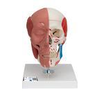Schädel mit Gesichtsmuskulatur,A300
