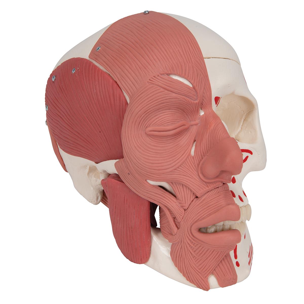 Schädel mit Gesichtsmuskulatur - 1020181 - 3B Scientific - A300 ...