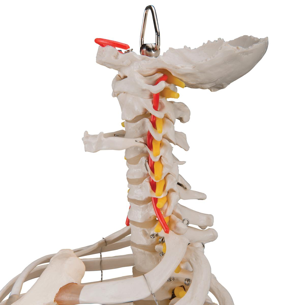 Klassische flexible Wirbelsäule mit Brustkorb und ...