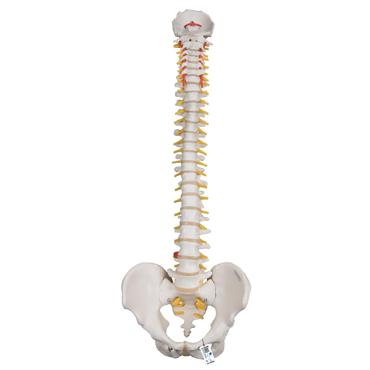 Flexible Wirbelsäule für starke Beanspruchung - 1000130 - A59/1 ...
