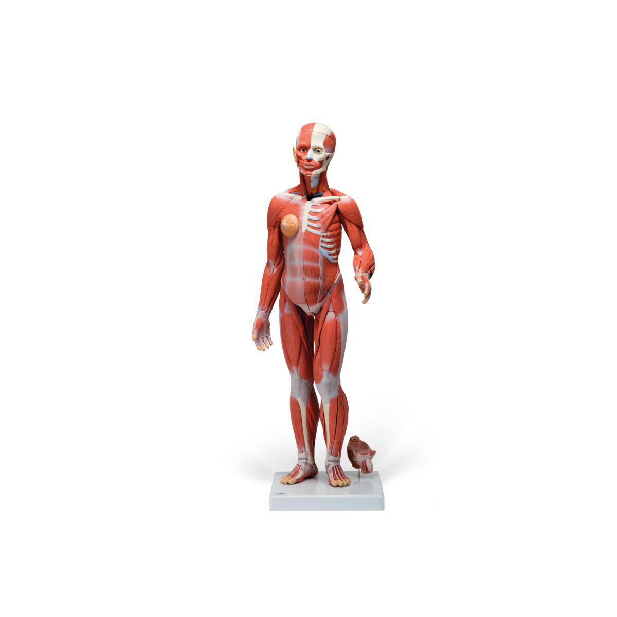 Muskelfigur, zweigeschlechtig mit inneren Organen, 33-teilig ...