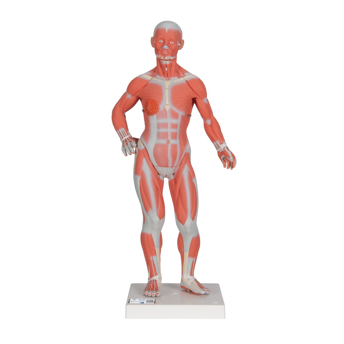 Ungewöhnlich Anatomie Muskel Modelle Fotos - Anatomie Ideen ...